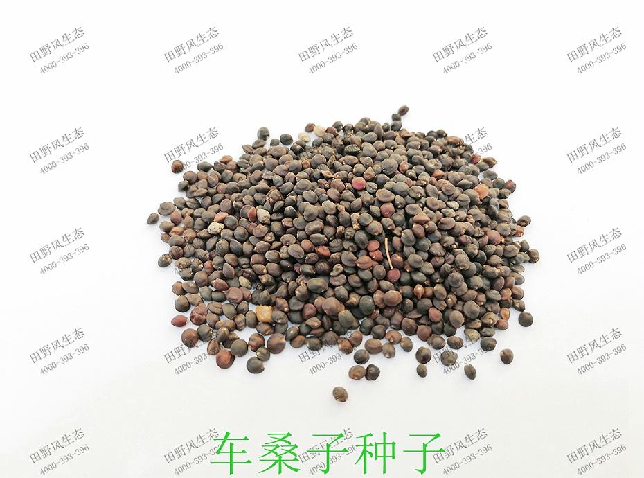 1车桑子种子