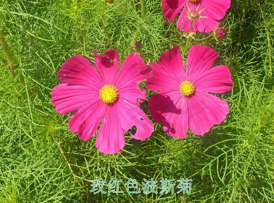 2枚红波斯菊