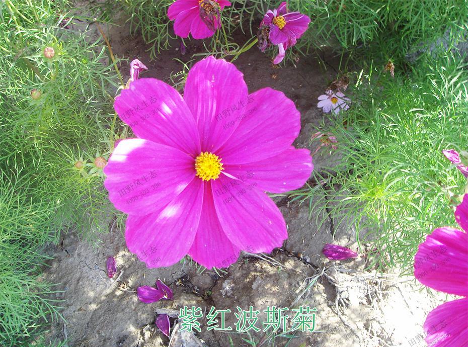 3紫红波斯菊