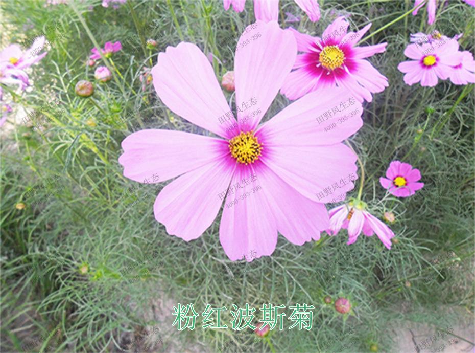 4粉红波斯菊