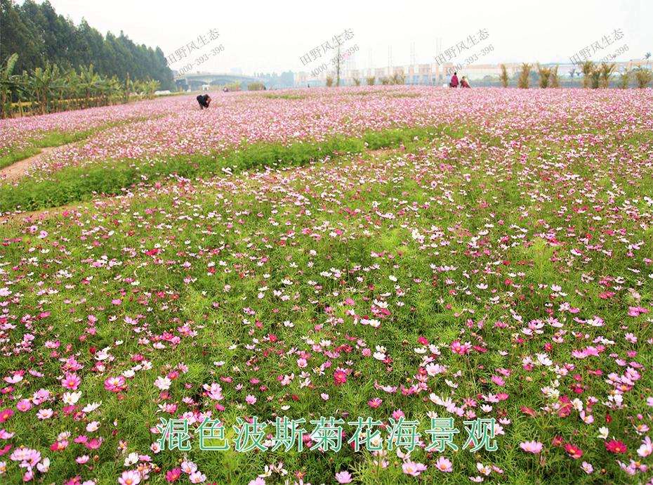 11混色波斯菊花海景观