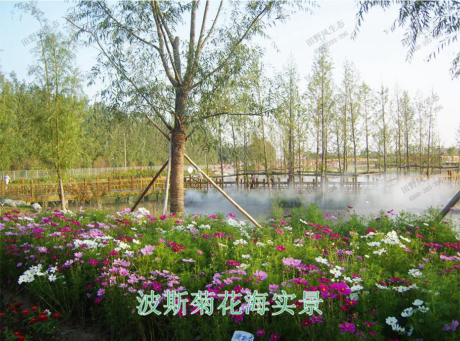 12波斯菊花海实景