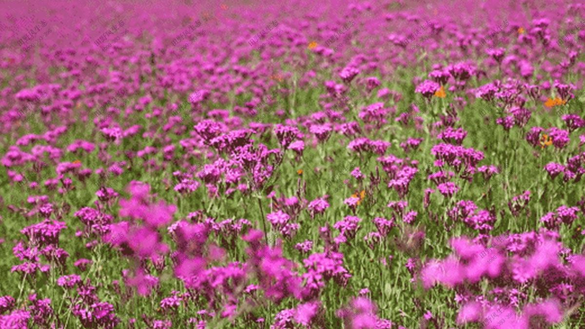 景观花海花种,花卉种子