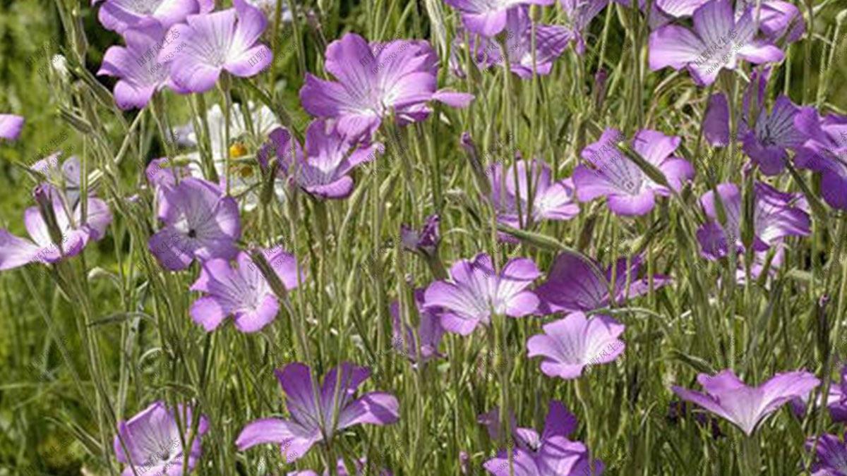 速生花种子,洒播常用花种