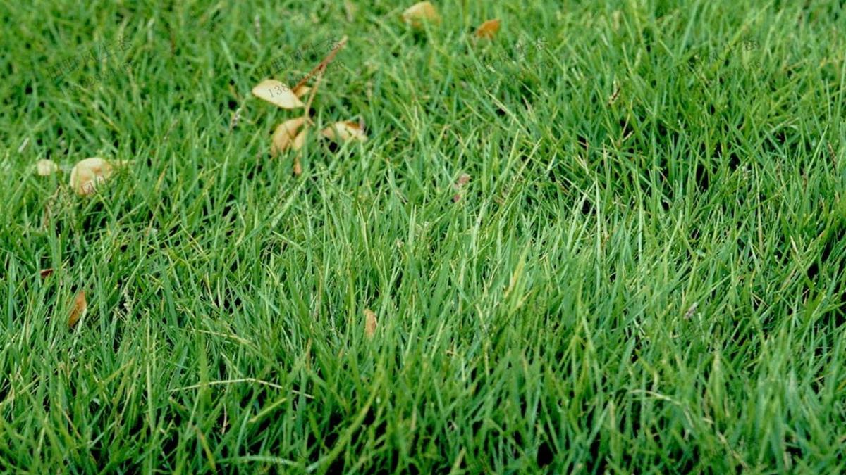 草坪草种草籽台湾草