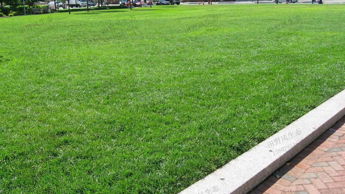 草坪草种剪股颖草种子种植方法及养护技术