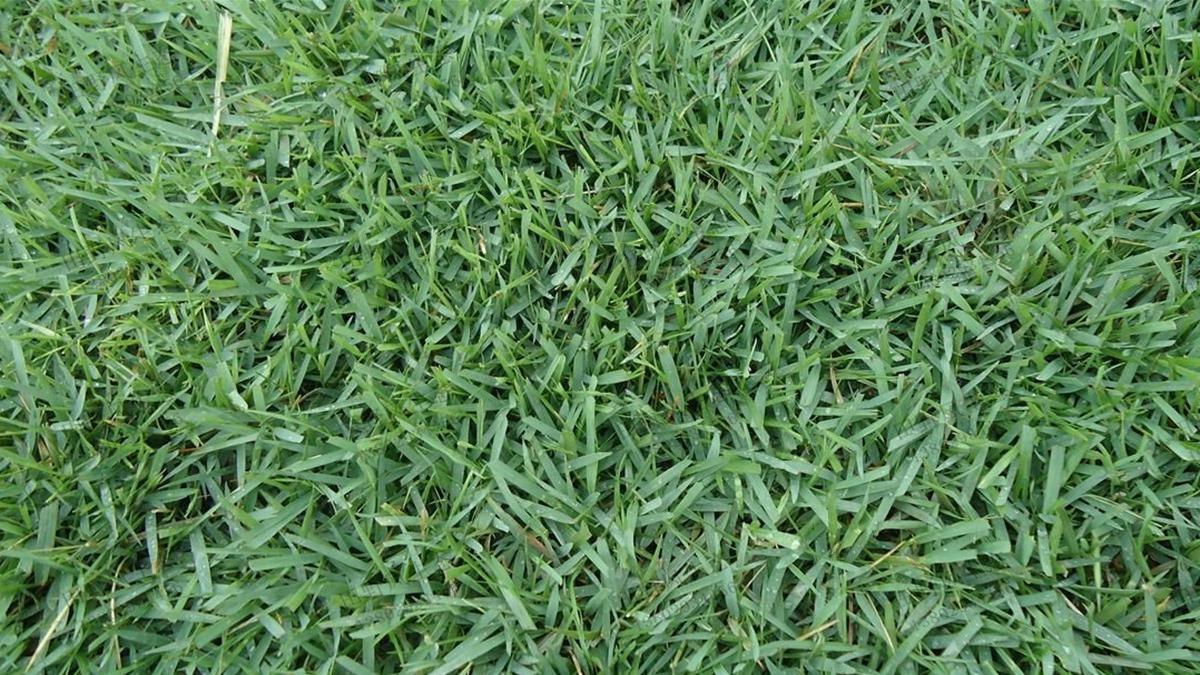 草坪草种中的王者——结缕草种子