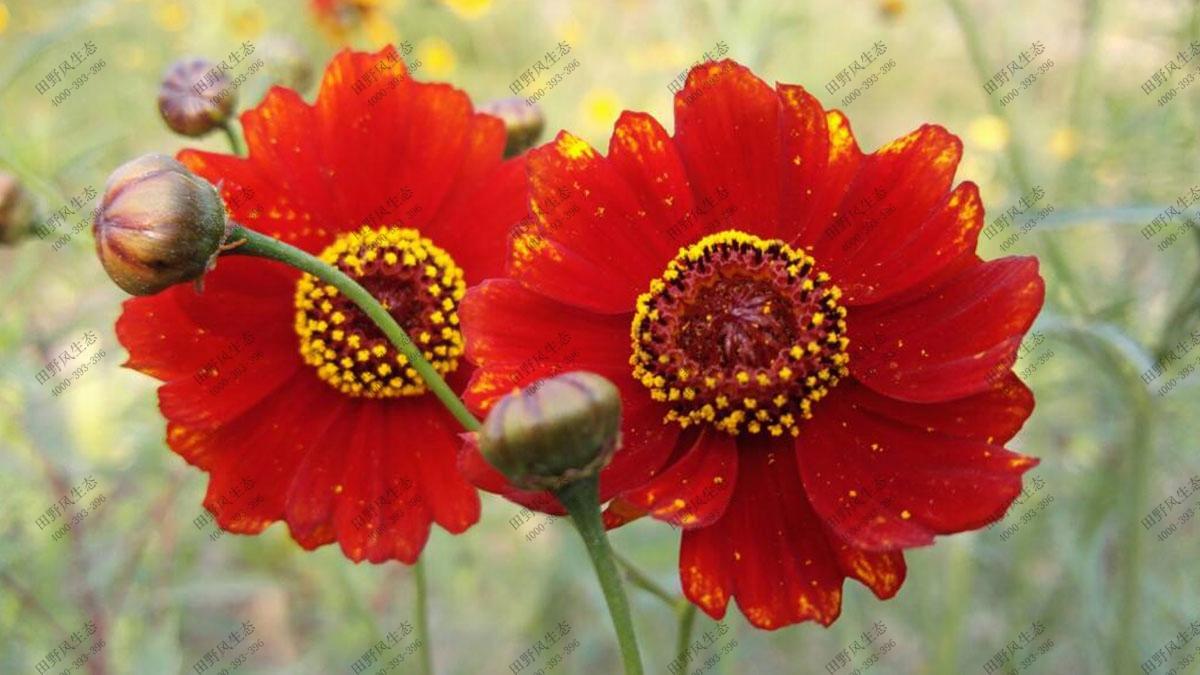 混播一年生花种,花海花种子
