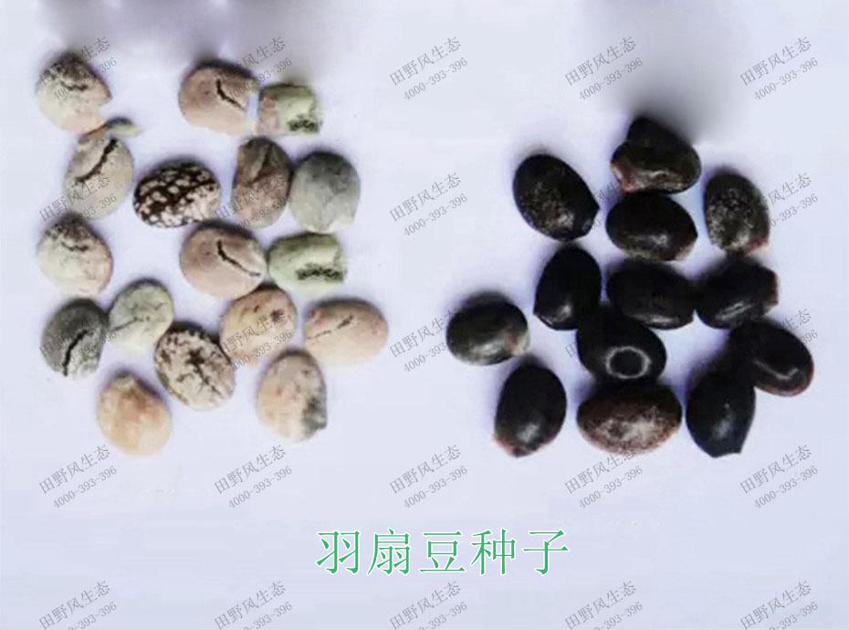 1雨扇豆种子