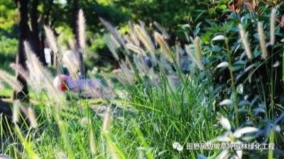 公路边坡绿化狗尾巴草,也可以美成一种艺术