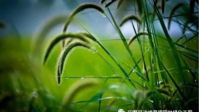 坡面绿化常用草种-顽强生命力