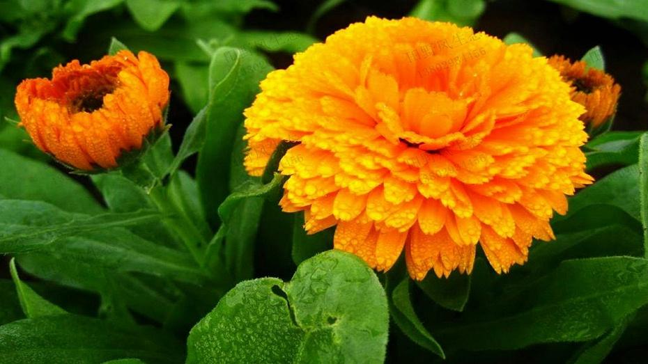 金盏菊花种子种植