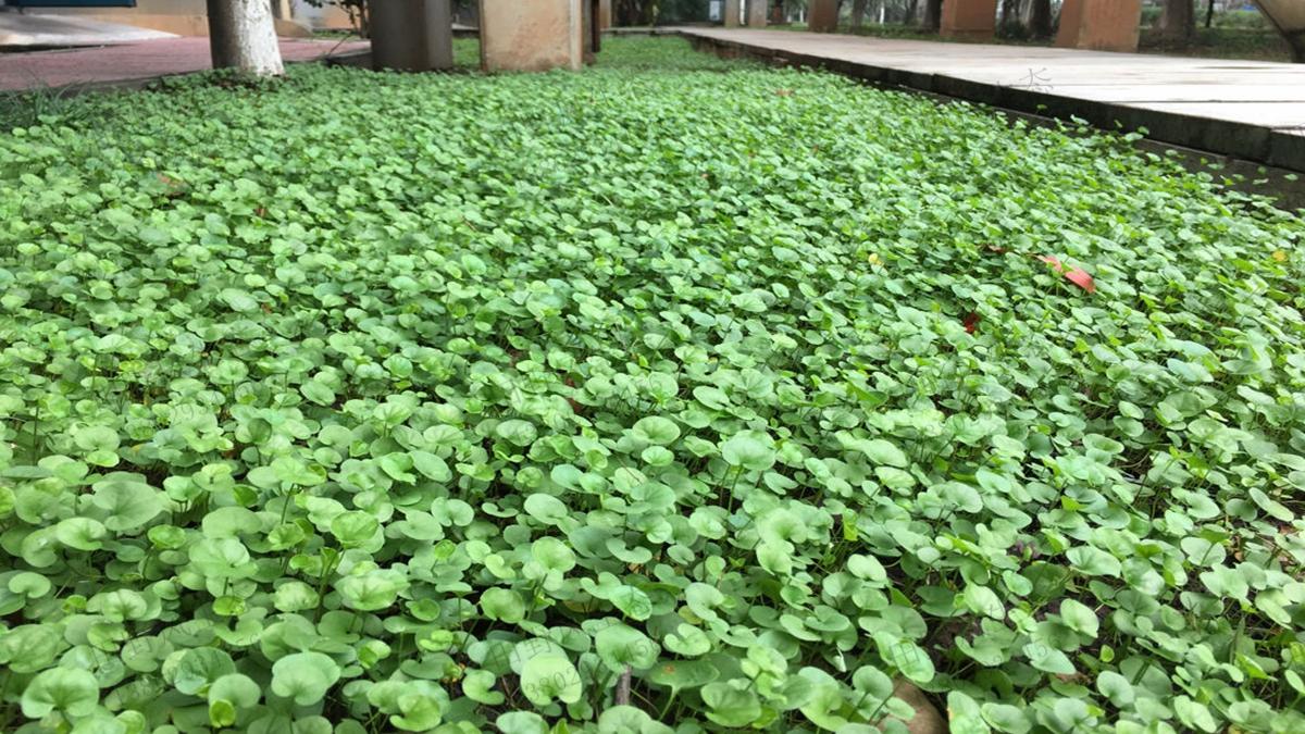 马蹄金草种子种植方法