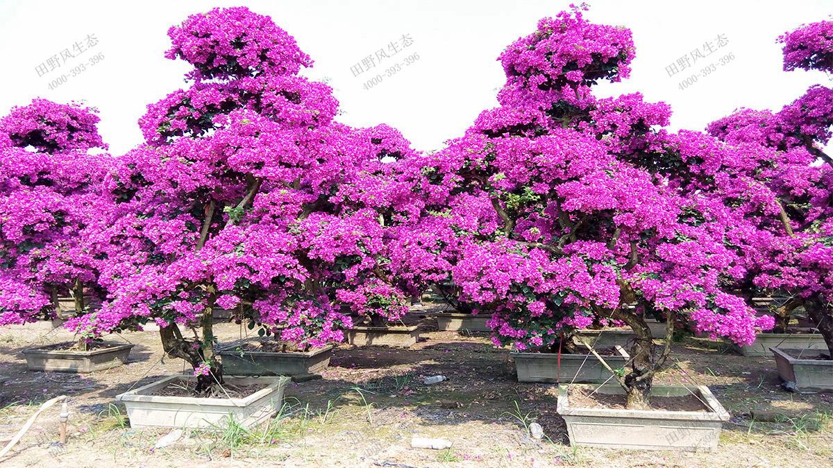名贵珍稀苗木